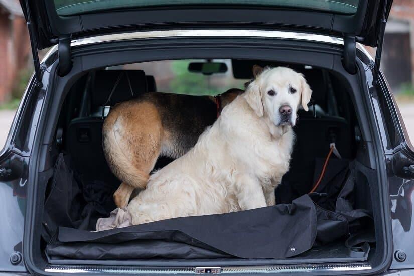 Hunde im Kofferraum mit Autoschondecke