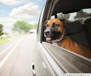 a boxer pit bull mix dog riding in a car with her head out of th