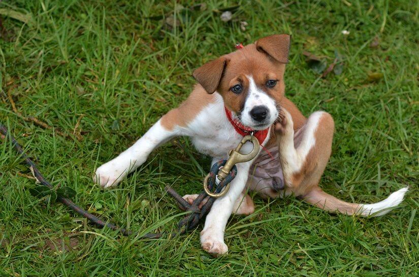 Flöhe beim Hund