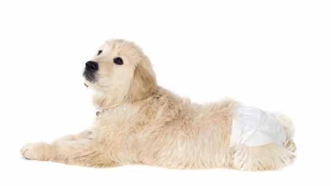 Golden Retriever mit Hundewindel