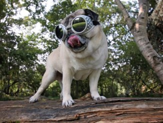 Eine gute Hundebrille schützt vor UV-Strahlen