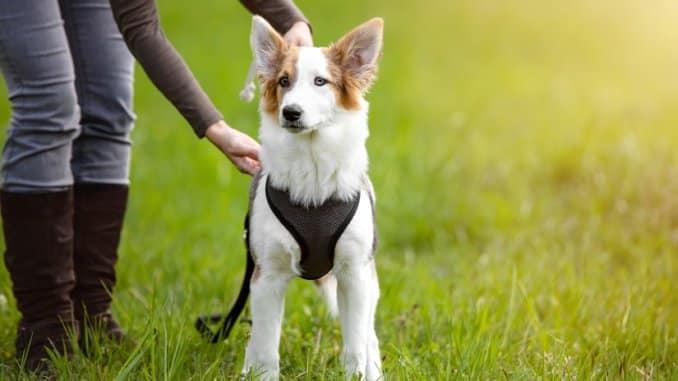 Hund mit gepolstertem Hundegeschirr