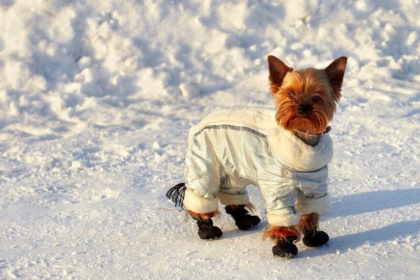 Yorkshire Terrier mit Hundemantel Winter