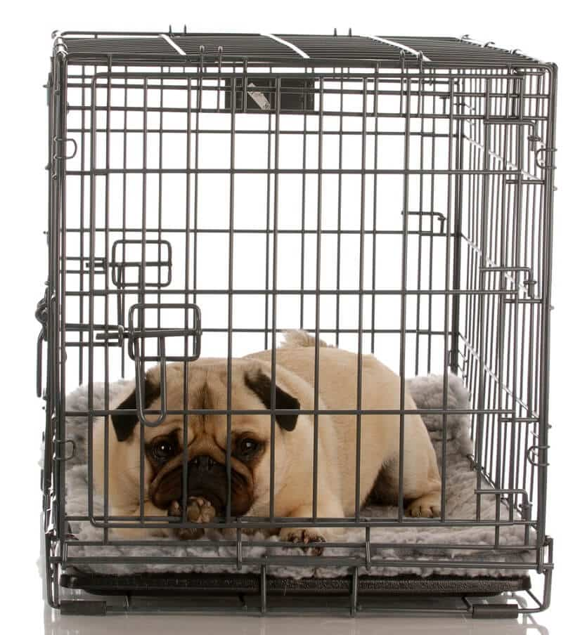 Mops in Hundetransportbox Alu