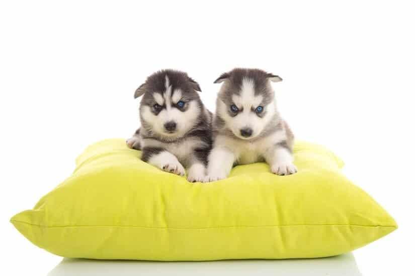Hundewelpen auf einem Hundekissen XXL