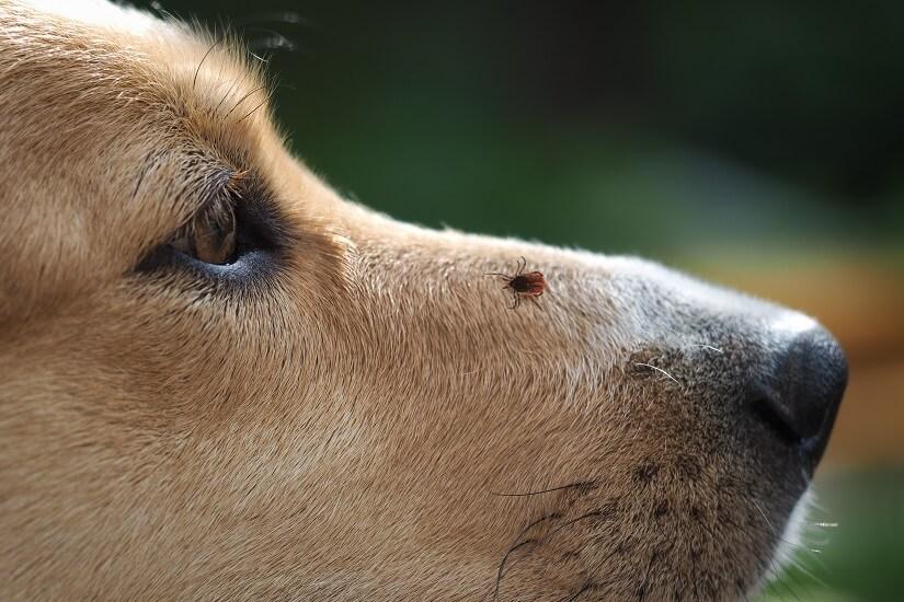 """Zecken können die <a href=""""https://modern-dogs.de/gesundheit/"""" target=""""_blank"""" rel=""""noopener"""">Gesundheit</a> des Hundes gefährden, aus diesem Grund ist das Tragen eines Zeckenhalsbands empfehlenswert."""