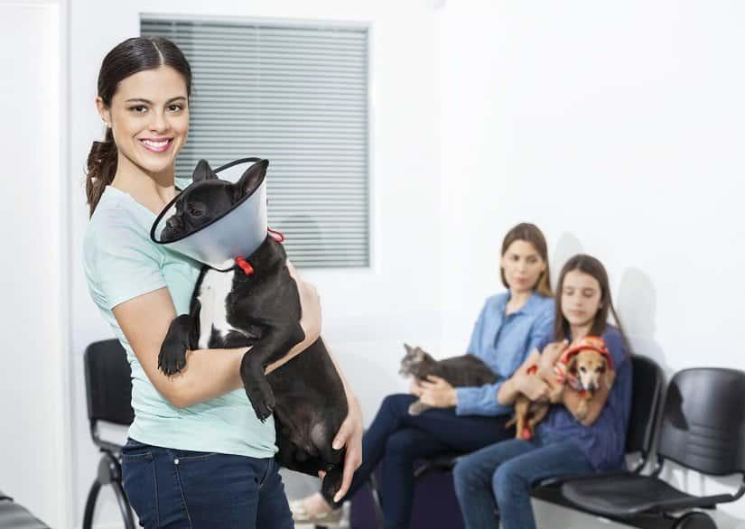 Französische Bulldogge mit Halskrause beim Tierarzt