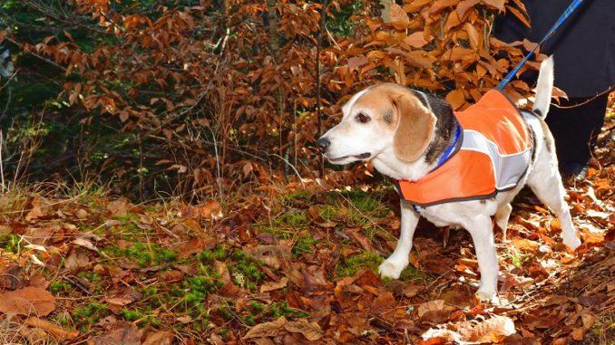 Beagle mit Warnweste für Hunde