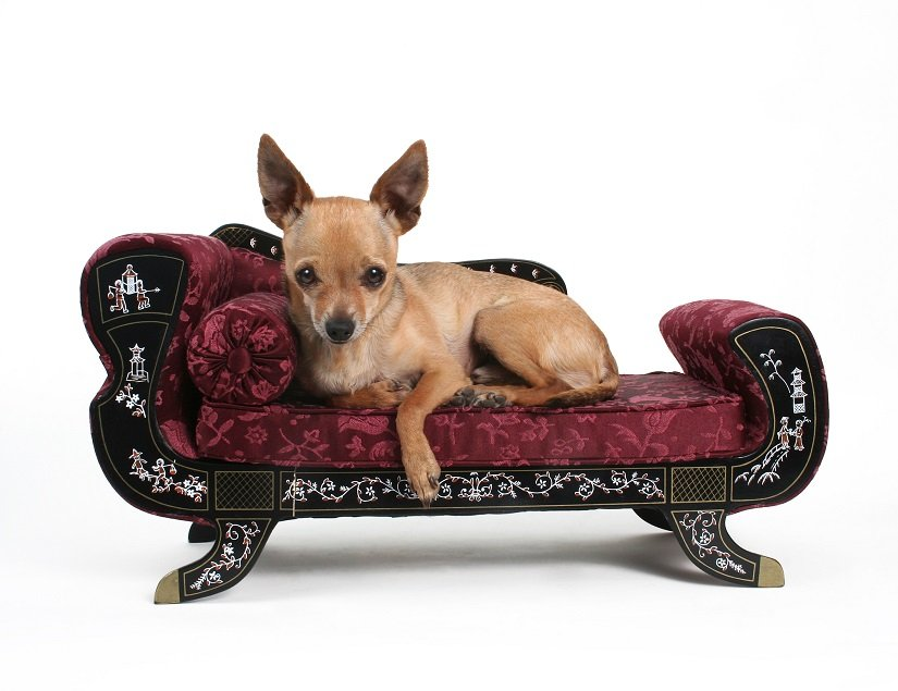 Chihuahua auf Hundesofa