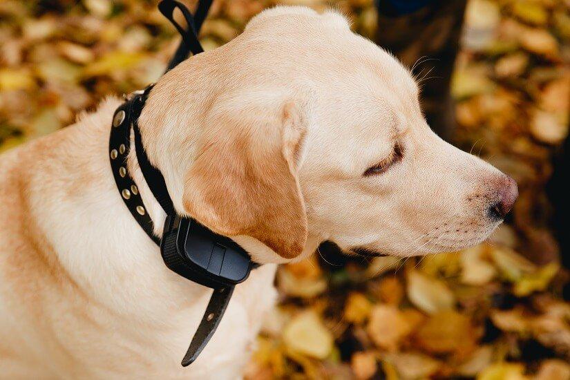 Labrador mit Elektrohalsband