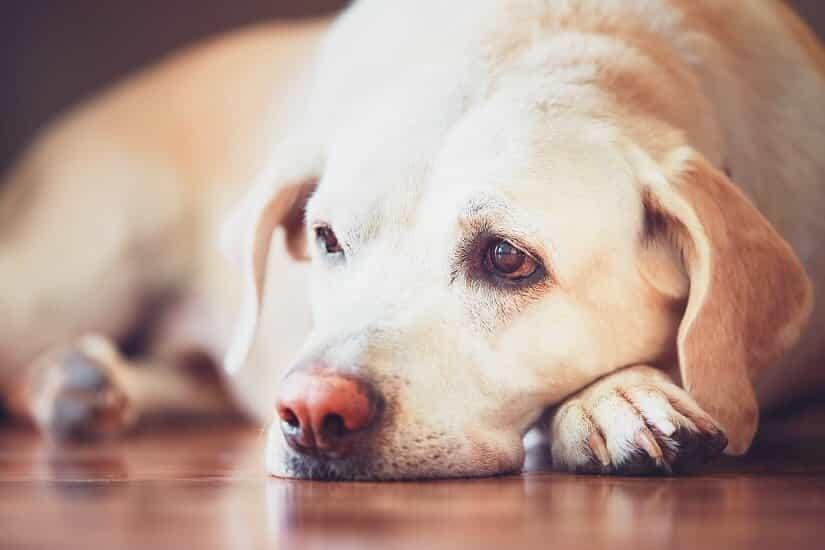 Die Symptome von Giardien beim Hund