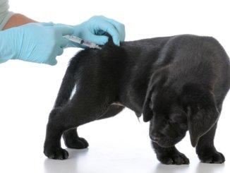 Kleiner Labrador wird geimpft