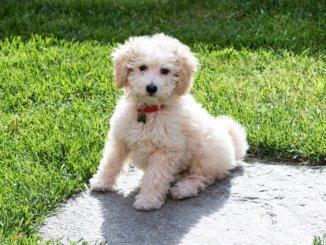 Der Pudel zählt zu den Hunderassen, die nicht haaren. | Foto: Photology1971 / Bigstockphoto.com