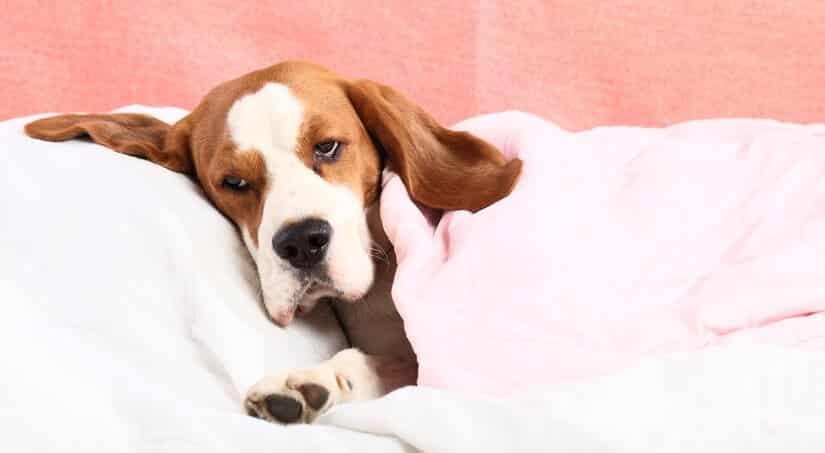 Schokoladenvergiftung beim Hund Symptome