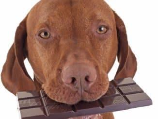 ist Schokolade giftig für Hunde