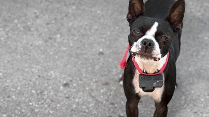 Hund mit Funksensor eines unsichtbaren Hundezauns
