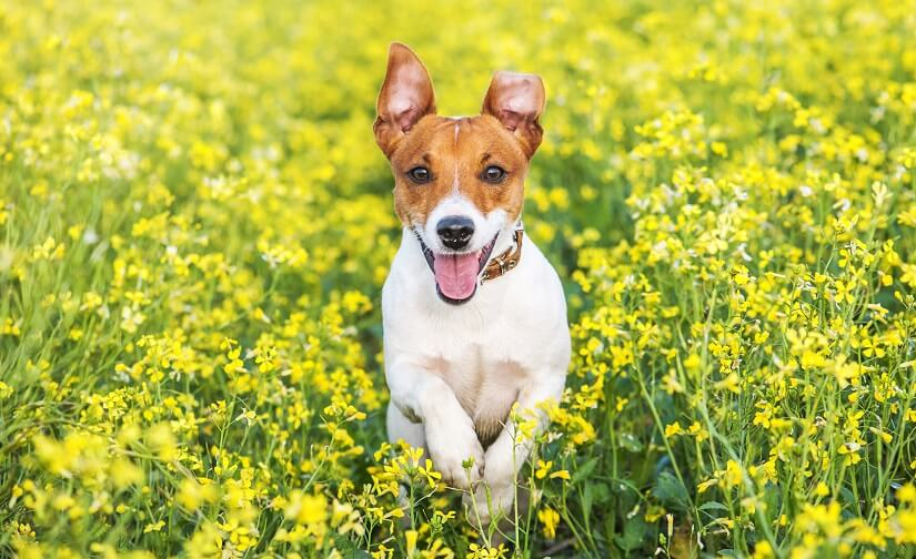 Der Jack Russell Terrier | Foto: Ivankmit / Depositphotos.com