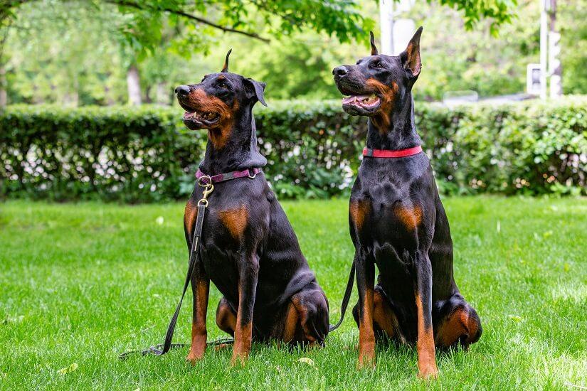 Dobermann-Paar im Garten