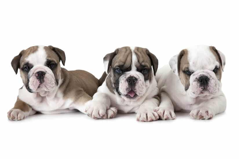 Englische Bulldogge Welpen | Foto: alkir / Bigstockphoto.com