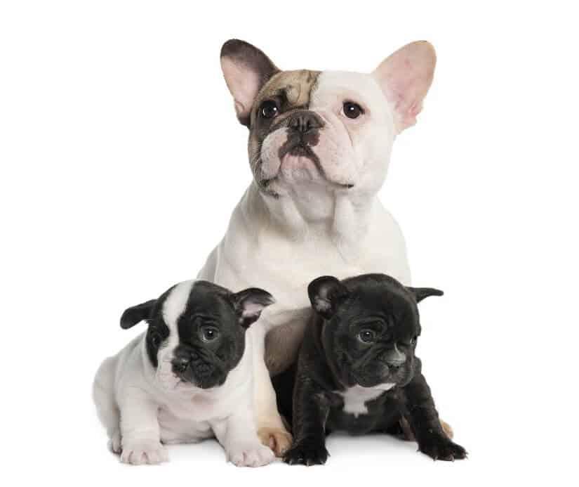 Französische Bulldogge mit Welpen