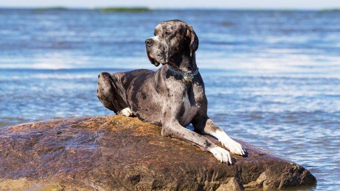 Die Deutsche Dogge Foto