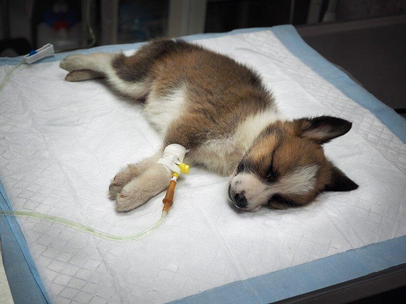 Ein Hund wird operiert