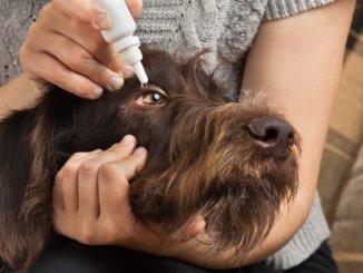 Augenerkrankungen beim Hund