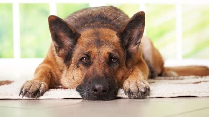 Babesiose beim Hund