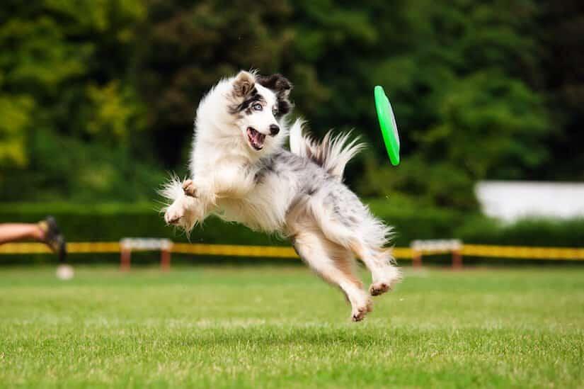 Border Collie spielt mit einer Hundefrisbee