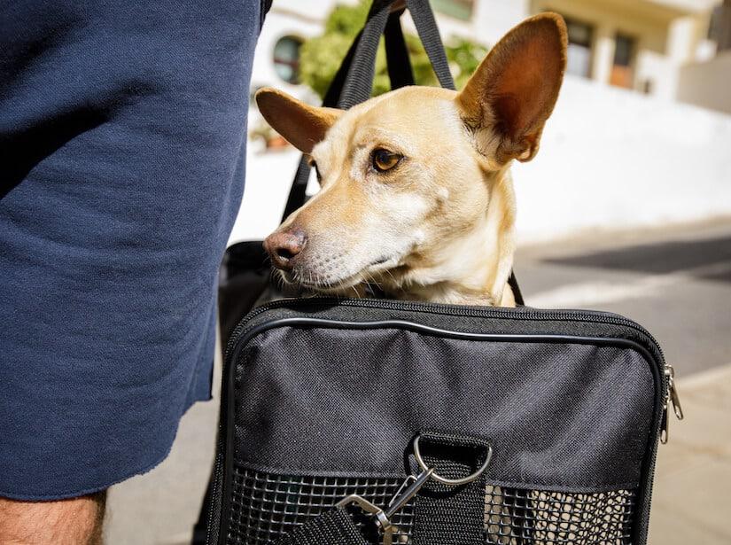 Ein Chihuahua in einer Hundetragetasche