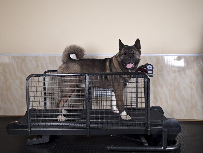 Hund auf einem speziellen Hundelaufband