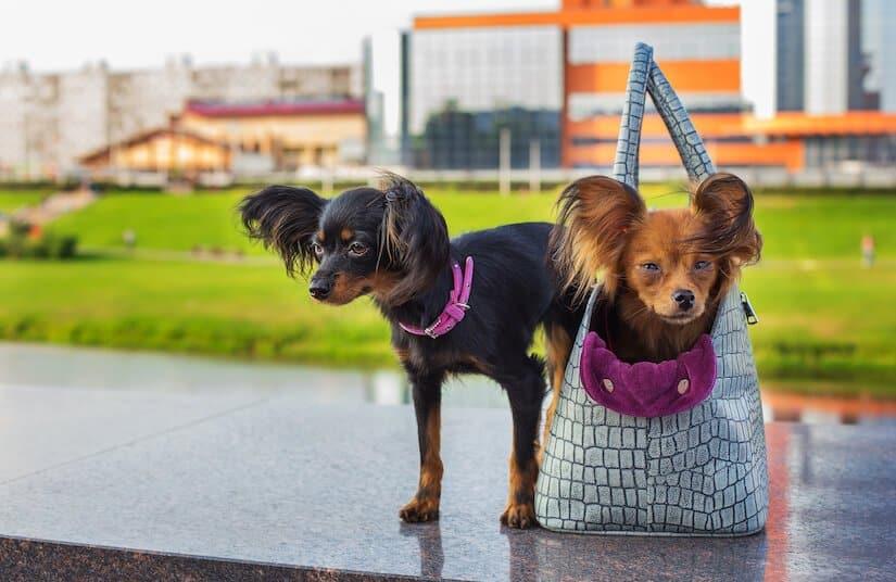Hund in einer Hundetragetasche