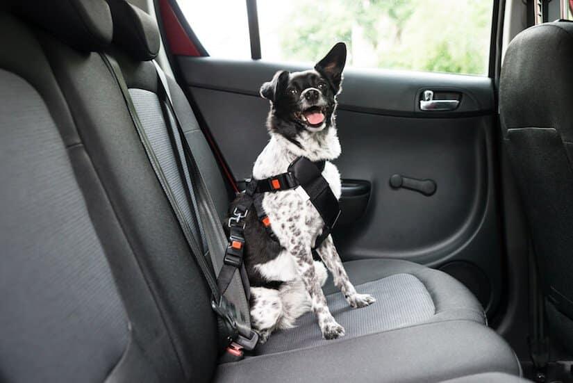 Hund sitzt auf der Rückbank eines Autos und trägt ein Sicherheitsgeschirr für den Hund