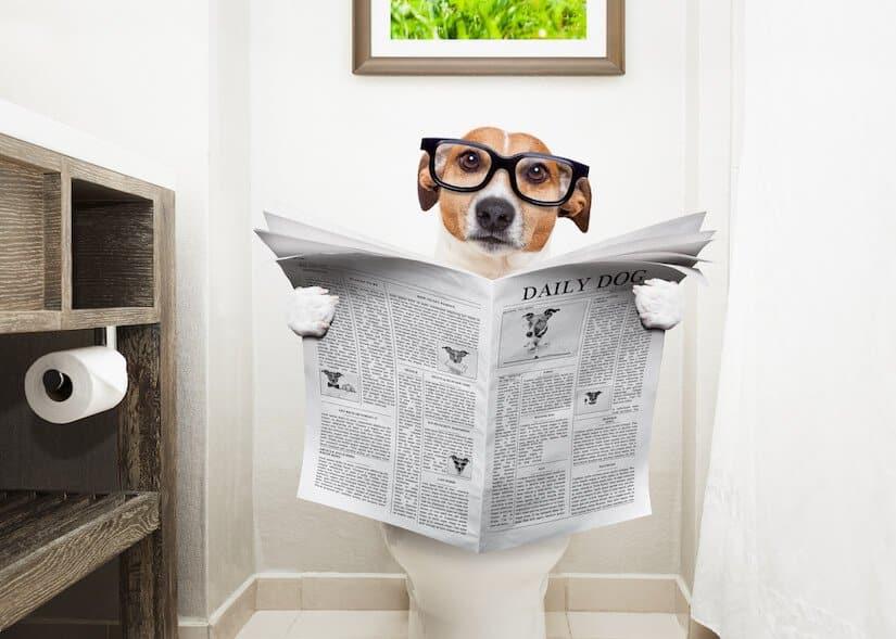Jack Russel sitzt auf einer Toilette