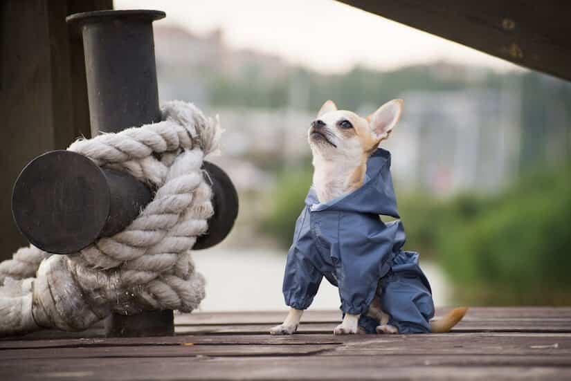 Kleiner Hund mit einem blauen Hunderegenmantel