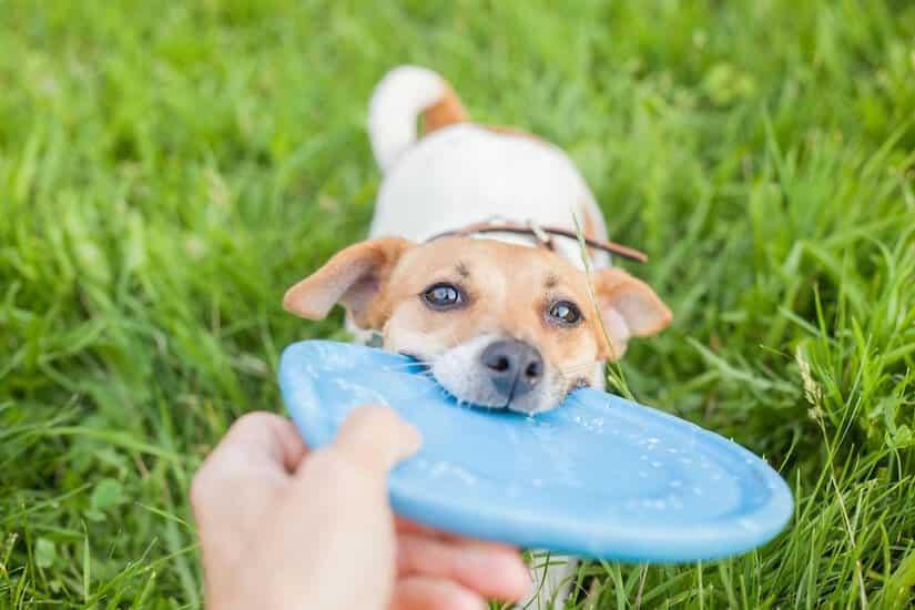 Kleiner Jack Russel Terrier mit einer Hundefrisbee im Maul