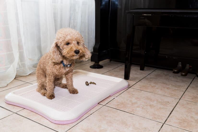 Pudel hat in seine Hundetoilette gemacht