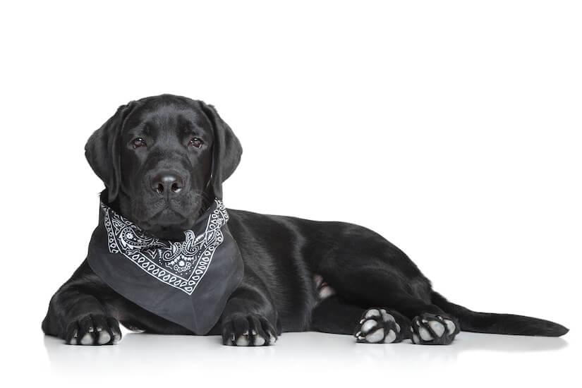 Schwarzer Labrador mit einem schicken Hundehalstuch