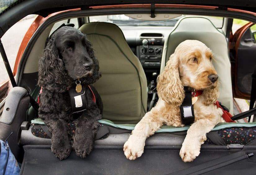 Zwei Cocker Spaniel auf der Rückbank auf einer Hundedecke für das Auto