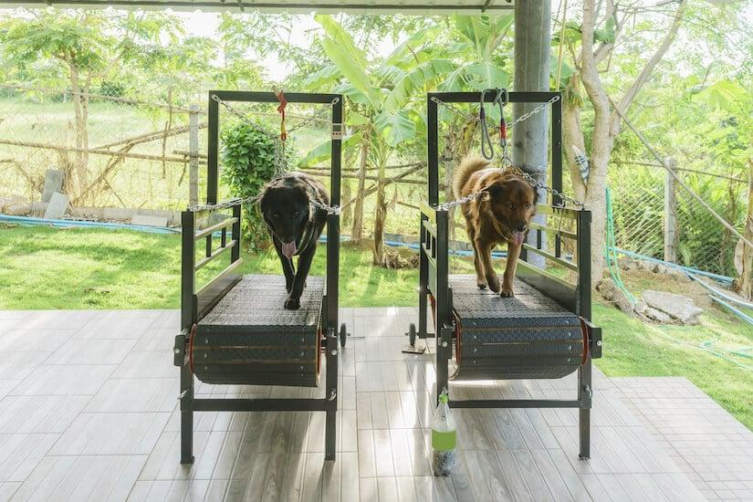 Zwei Hunde trainieren auf einem Laufband für Hunde