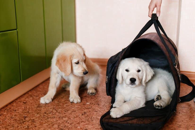 Zwei Labrador Retriever Welpen - Einer in einer Hundetragetasche