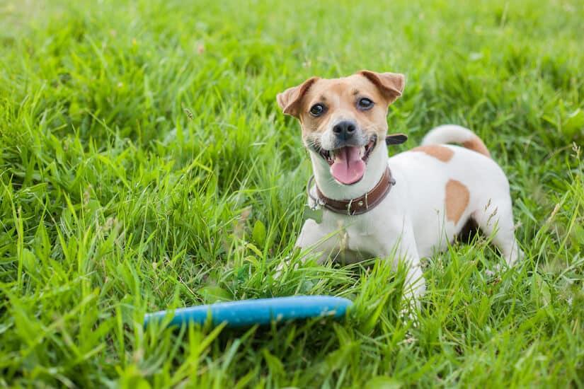 Jack Russell Terrier mit einer Hundefrisbee im Gras