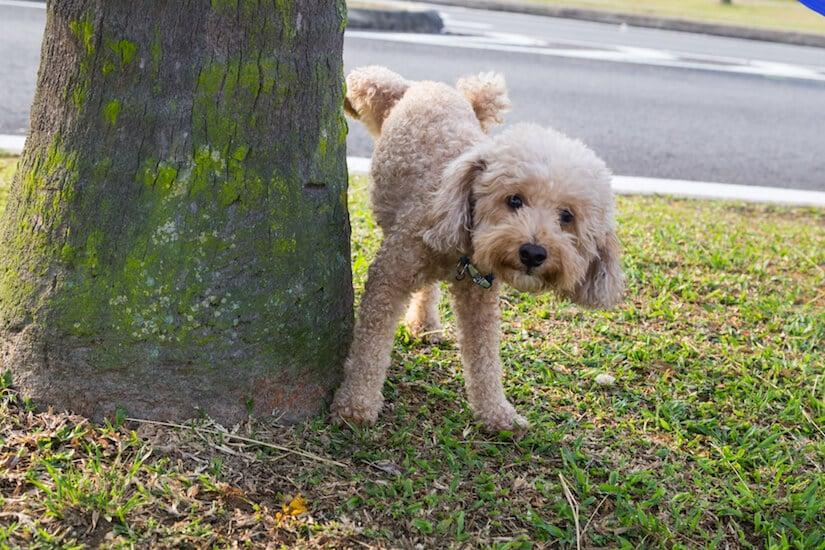 Eine Rüdenbinde hilft gegen häufiges markieren vom Hund