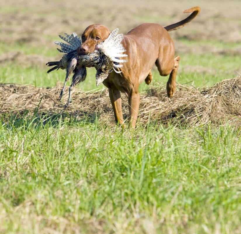 Gebrauchshunderassen kommen bei der Jagd zum Einsatz