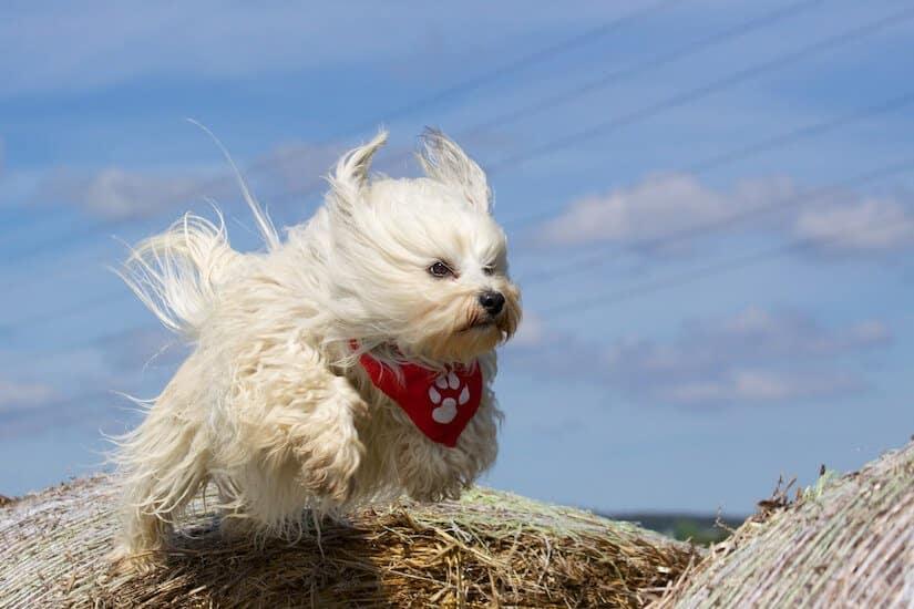 Havanese mit einem roten Hundehalstuch