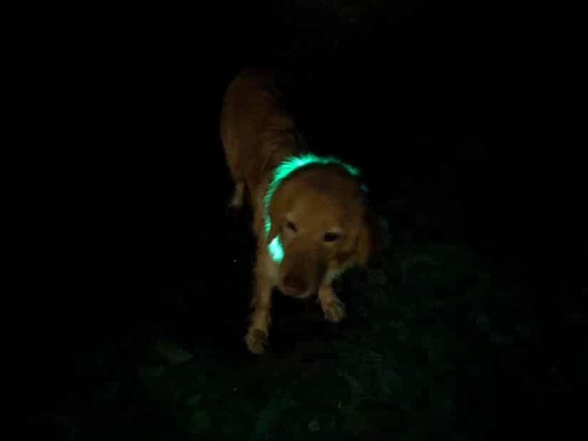 Holly im Dunkeln mit einem Leuchthalsband