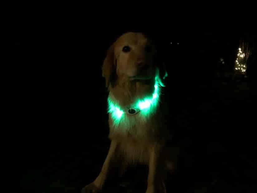 Holly mit einem Leuchthalsband für Hunde