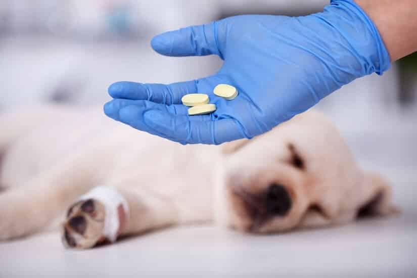 Hund mit Herzwurmkrankheit bekommt Medikamente