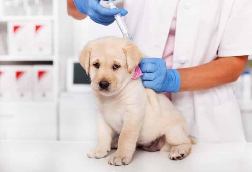 Hundestaupe beim Hund vorbeugen