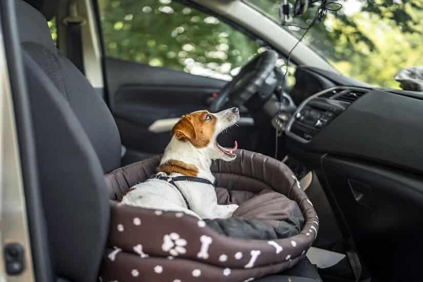 Jack Russel ohne Hundegurt im Auto